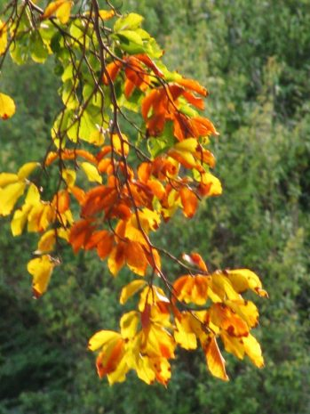 autumn leaves x2