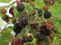 Lund - my favorite berries - September