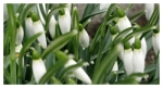 feature snowdrops