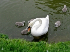 feature swan