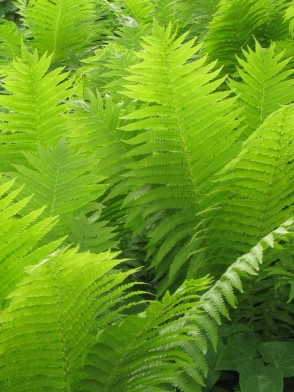Helsingborg - ferns - June