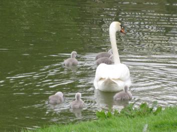Mum & chicks