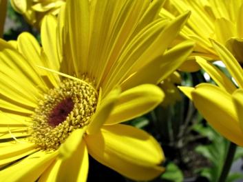 yellow in the sunshine