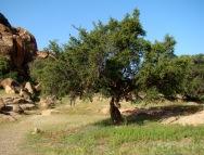 Argan_Tree_wikimedia org