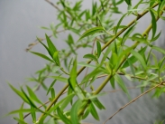 fragail greens 1