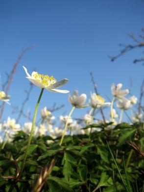 wood anemone 2