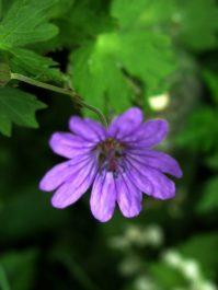 delicate in purple