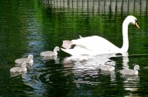 featured image - swans