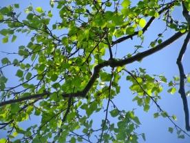 leafs & sky