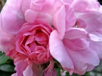 royal pink roses