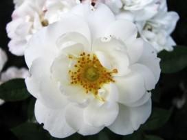 royal white rose
