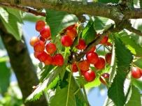 this years cherries