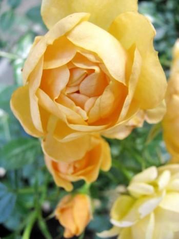 yellow royal rose