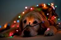 christmas dog - nouslandia com ar