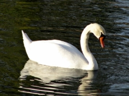 featured swan