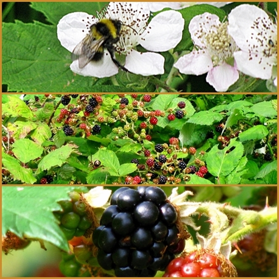 simrishamn blackberries