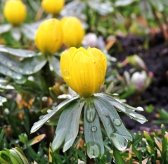 winter aconite (s)