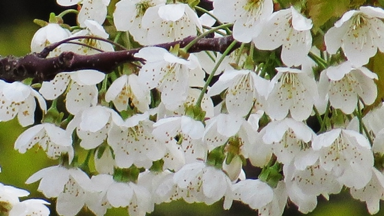 cherry tree - close up