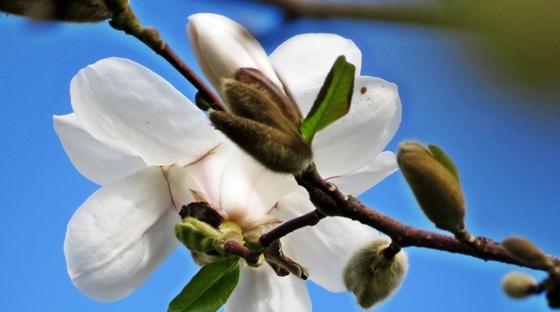 Magnolia. 1
