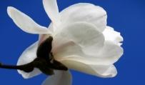 Magnolia. 2