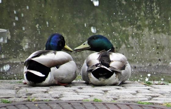 gay ducks