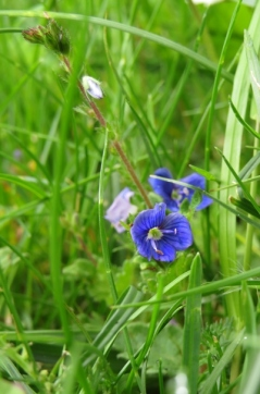 Blue-eyed-Mary (Omphalodes verna Moench)