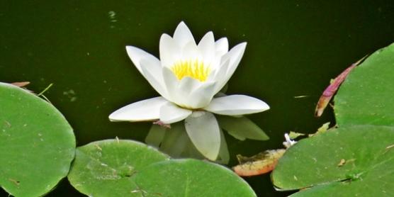 Topkapi water lily