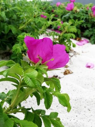 beach rosehip