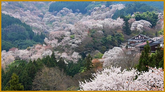 cherry blossom - japan-guide com
