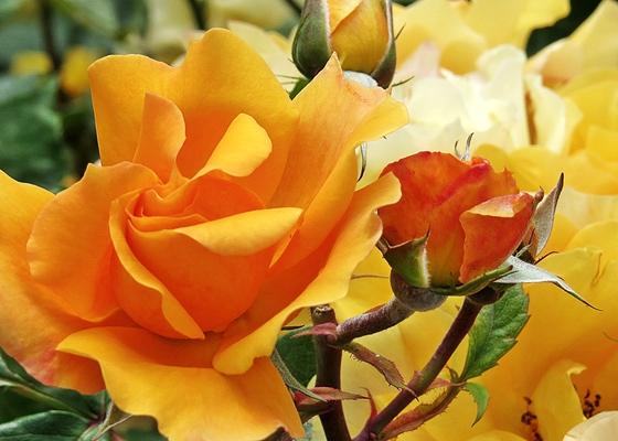 Istanbul rose
