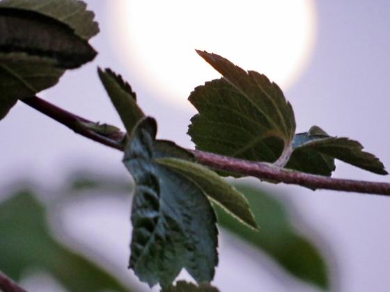 leafs & moon