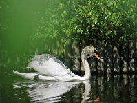 mr swan