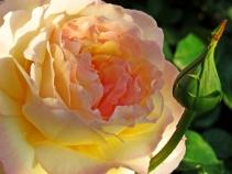 english rose in the sunrise
