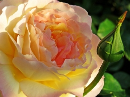 english rose in the sunrise