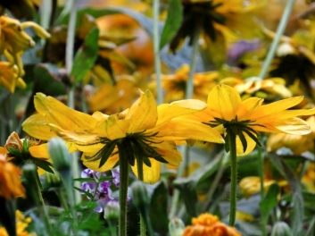 chicago yellow