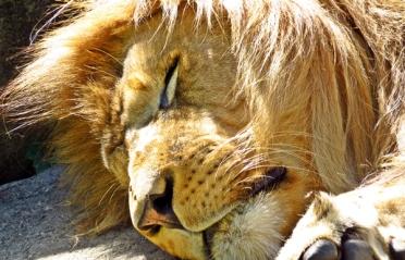 lion sleep