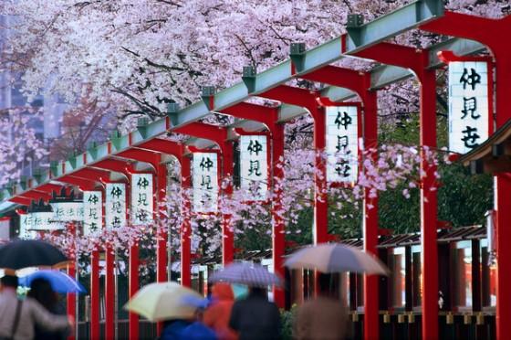 cherry blossom - my.mail ru