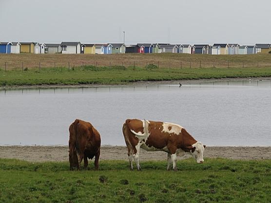 cow resort
