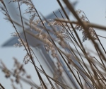 looking through the reed - featured
