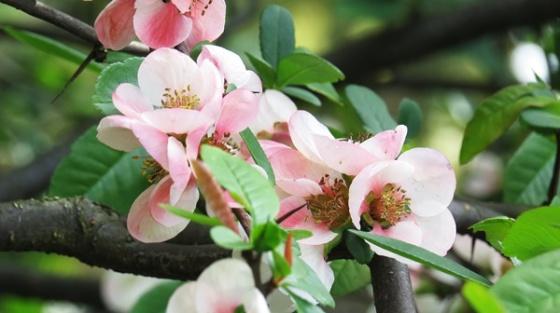 imperial cherry blossojs