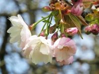 more cherry blossoms