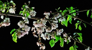 nighly blossoms