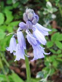 Danish garden blue bell