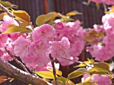 kyoto blossoms