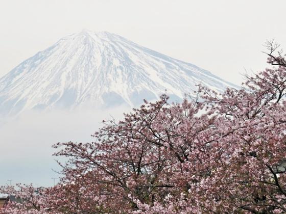 Mt Fuji & cherry blossoms