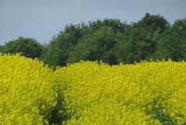 rapeseed 7