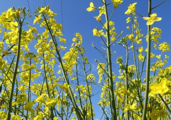 rapeseed 9