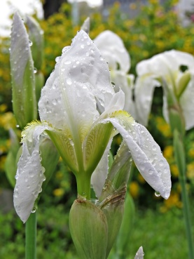 soaking wet