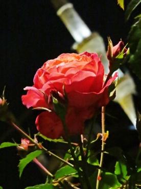 Mosque rose