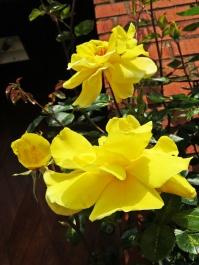 roses in sunshine